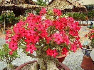 adenium_flowers___Small